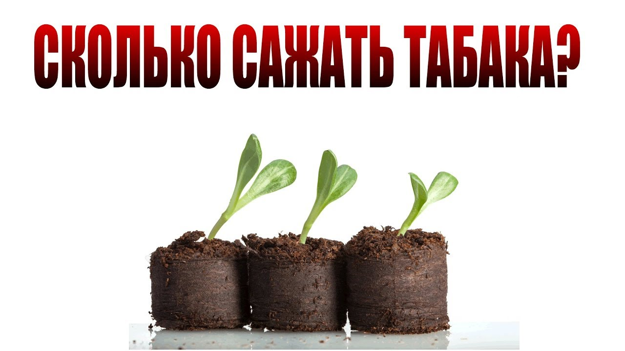 Как правильно сеять семена курительного табака на рассаду 49