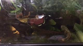 Betta channoides (Strawberry Betta) Spawning and Set up