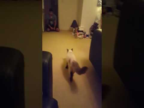 Ragdoll cat/kitten plays fetch like dog