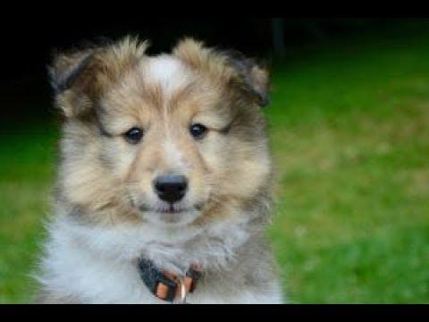 What Should My Shetland Sheepdog Eat?