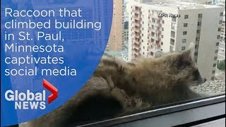 Raccoon that climbed building in Minnesota, captivates social media