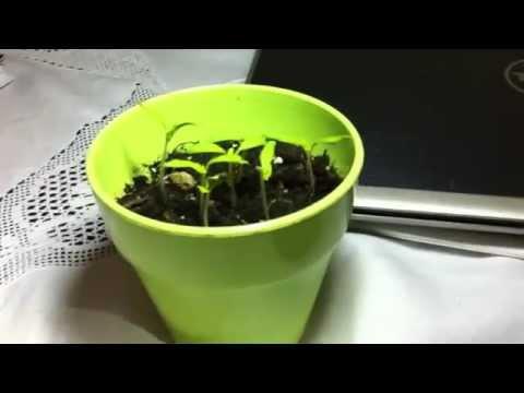 Πως να φυτρώσουν οι σπόροι πιο γρήγορα  α μέρος