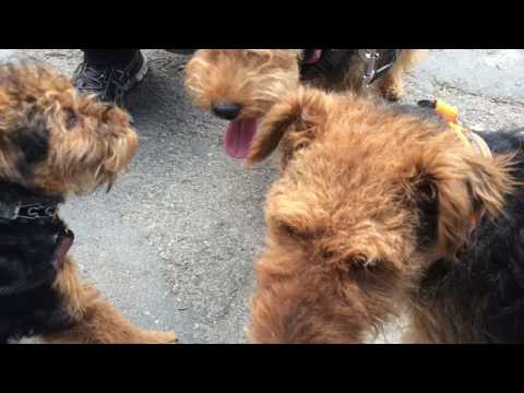 Welsh Terrier Walk 5/2016