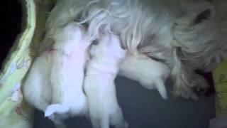 West Terrier - Karmienie