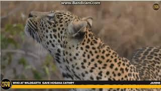 ~ Wielkie koty Afryki - Lampart ~   Safari