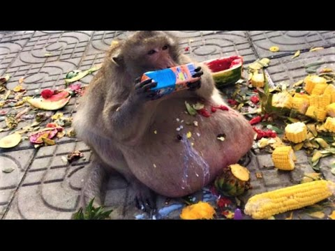 Thumbnail: World's Fattest Monkey Spotted