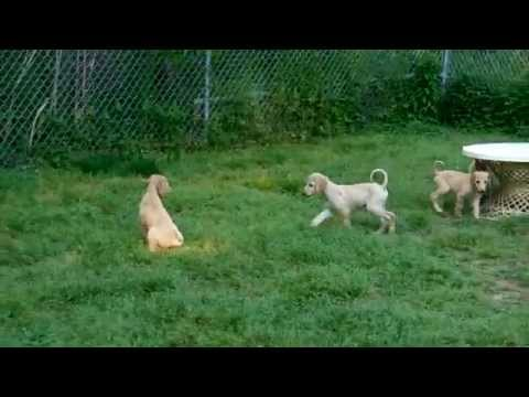 8 Week Old Afghan Hound puppies playing with big ball