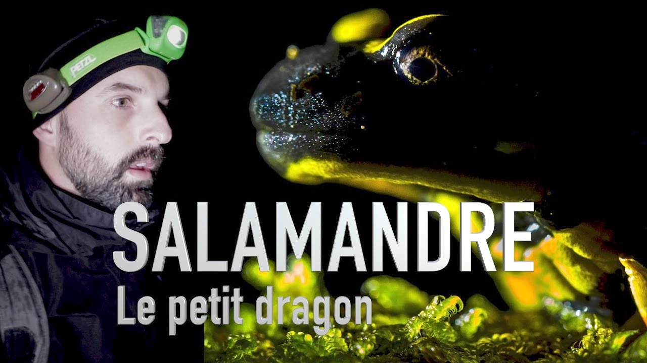 UN DRAGON DANS NOS FORETS! -LA SALAMANDRE-