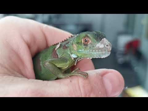 Iguana verde baby guía basica