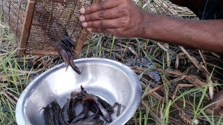 Fishing Video : The process of fish hunting with rice from the field