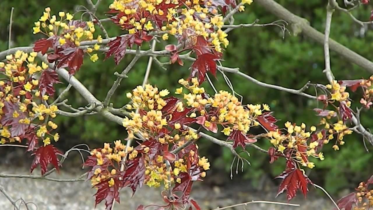 Acer platanoides faassen 39 s black youtube - Arce platanoide ...