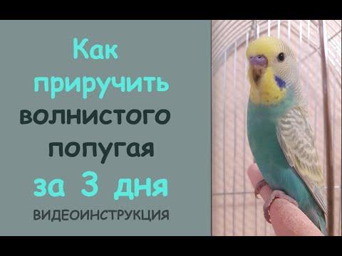 📚 Приручить волнистого попугая за 3 дня 👌
