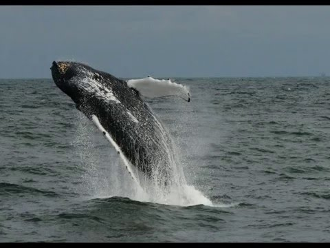 Breaching Whale Virginia Beach Va Seen From The Rudee Flipper