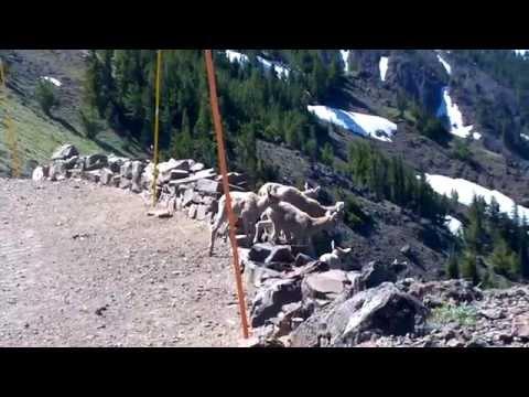 Bighorn Sheep babies on Mount Washburn - Yellowstone National Park