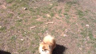 Starlette, Two 1/2 Pound Pomeranian At One Year Of Age.