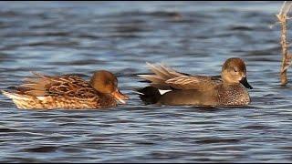 Утка серая. Утки Беларуси. Gadwall. Ducks Belarus.