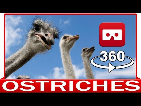 360° VR VIDEO - OSTRICHES - DISCOVERY NATURE & ANIMAL - VIRTUAL REALITY 3D