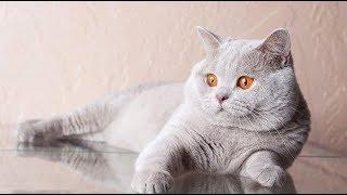 Chăm sóc mèo anh lông ngắn- Những chú ý khi chăm sóc mèo anh lông ngắn vào mùa đông