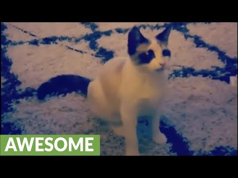 Clever cat flawlessly plays fetch with owner
