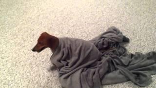 Dachshund Blanket Trouble