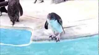 かわいいペンギン!飛び込めないよ~!キタイワトビペンギン