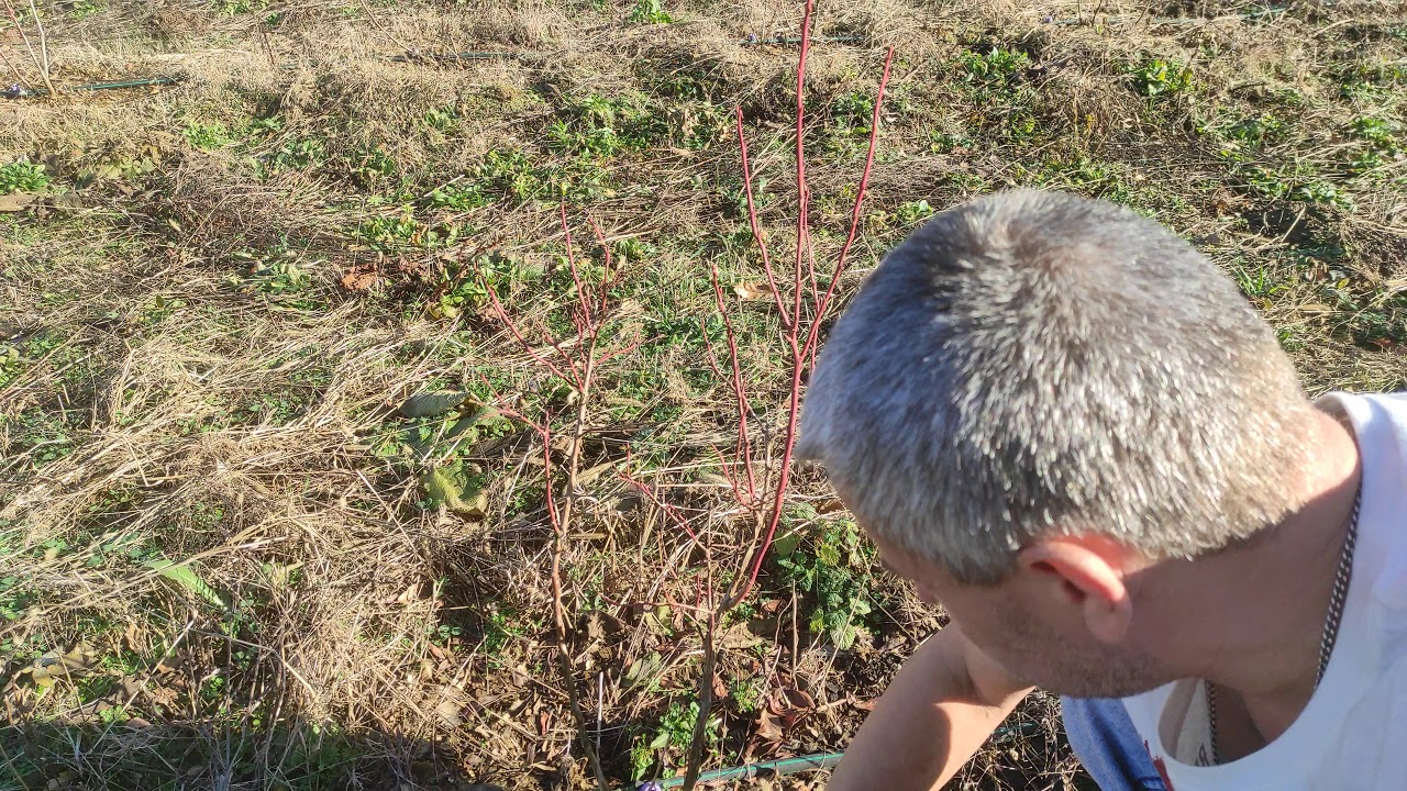 Новый 2021 год 01 января голубика растёт в стружке без торфа