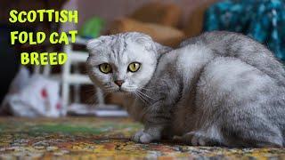 Scottish Fold Cat Breed  Main Characteristics