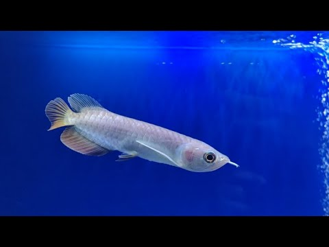 My Asian Arowana Fish Qian Hu Fish Farm