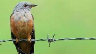 Suara Menyeramkan Burung Kedasih Emprit Gantil Bikin Merinding