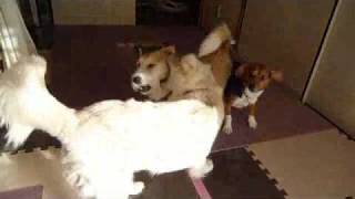 http://osanpoikuyo.blog112.fc2.com/ ワン6匹犬まみれ里親探し日記.