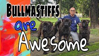 The Bullmastiff bonding time// bullmastiffs are very handsome dogs//cuddling the bullmastiffs