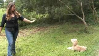 Off Leash Obedience Trained Labradoodle With Balanced Obedience Dog Training Of Hawaii