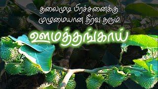 தலைமுடி பிரச்சனைக்கு முழுமையான தீர்வு தரும் ஊமத்தங்காய் | Datura Metel | Dr.S.Revathi's Vlog
