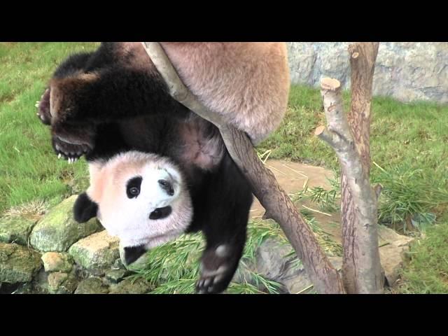 ジャイアントパンダの陽兵(ヨウヒン)