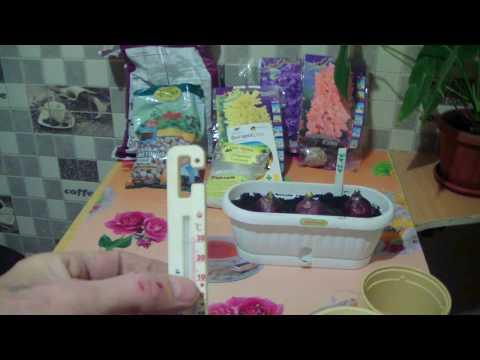 Выгонка гиацинтов в домашних условиях к 8 марта