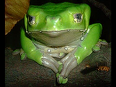 Giant Waxy Monkey Tree Frogs - YouTube