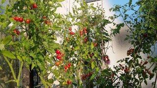 Cà chua bi trồng ban công sai như chùm nho