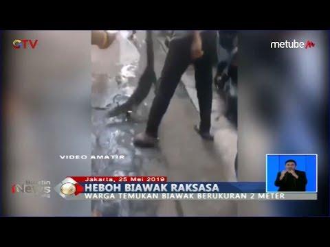 Heboh Biawak Raksasa Berkeliaran Di Gang Sempit Permukiman Warga Kebayoran - BIS 26/05