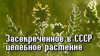 Трава ЖИЗНИ, засекреченная Сталиным
