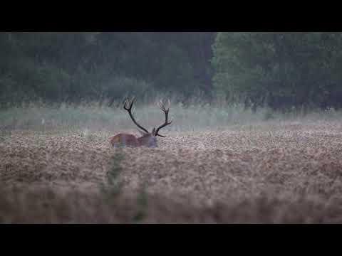 Jelen na paši - Video Čergov