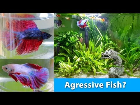 How to choose the perfect betta for a community tank i for Good community fish