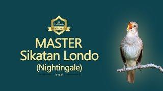 Sikatan Londo (Nightingale),  suara tembakan jeda rapat