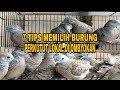 Tips Memilih Burung Perkutut Lokal Di Ombyokan  Mp3 - Mp4 Download