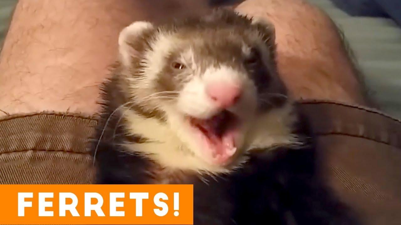Most Adorable Ferret Video Ever August 2018 Funny Pet Videos Youtube
