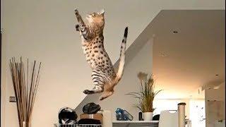Air Savannah Cat Amazing Jump
