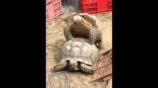 Секс двух самцов черепах