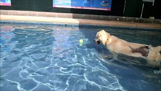 Labrador Retriever Rottweiler Mix Adrian Learning To Swim Playing In Shallow End 2