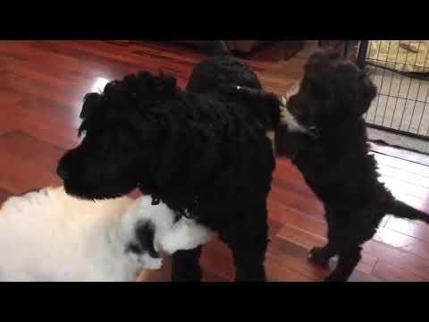 Portuguese Water Dog Puppies Playing Inside, while Daddy sleeps on couch