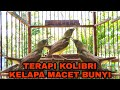 Kolibri Kelapa Trotol Korlap Gacor Ngalas Bongkar Isian  Mp3 - Mp4 Download