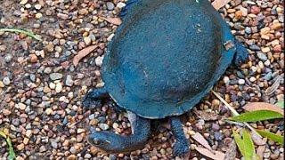 аквариумная Длиношеея черепаха